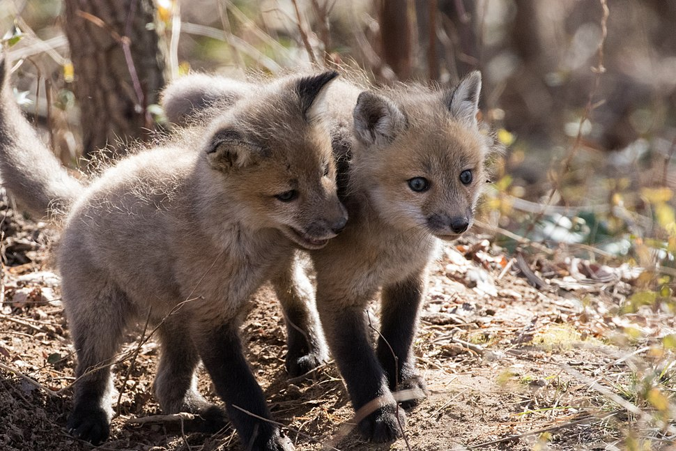 Red fox kits (40215161564)