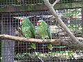 Red lored amazon parrot 31l07.JPG