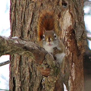 American red squirrel - Front view, Gatineau Park, Quebec