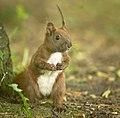 Red squirrel (51246397108).jpg
