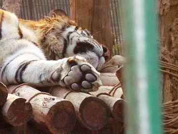 Resting tiger.jpg