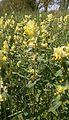 Rhinanthus alectorolophus 003.JPG