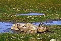 Rhino And Calf India Thakur Dalip Singh (123311273).jpeg
