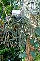 Rhipsalis pilocarpa - Marie Selby Botanical Gardens - Sarasota, Florida - DSC00933.jpg