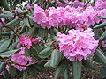 Rhododendrom oreodoxa var. fargesii Skógalyngrós blóm.jpg