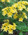 Rhododendron × gandavense 'Narcissiflora' (Ghent hybrid azalea) (27496585666).jpg