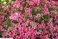 Rhododendron Celestial 2zz.jpg
