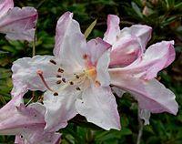Rhododendron formosum 1