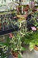 Rhododendron rarum - Lyman Plant House, Smith College - DSC02068.jpg