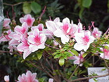 Rhododendron simsii0.jpg