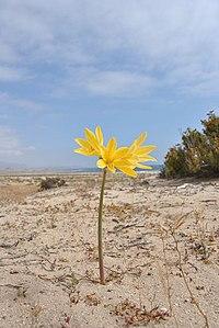 Rhodophiala bagnoldii (5082250057).jpg