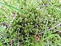 Rhytidiadelphus squarrosus 131780534.jpg