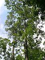 Rim Rock Trail - Scarlet Oak (Quercus coccinea) - Flickr - Jay Sturner (1).jpg