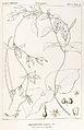 Riocreuxia torulosa01.jpg