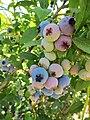 Ripening blueberries (9423983915).jpg