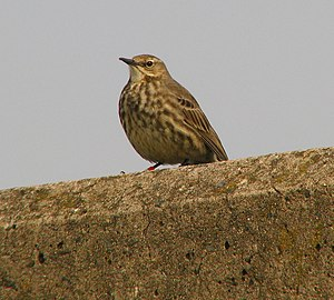 English: Rock Pipit, Bangor A rock pipit on th...