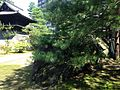 Rocks and pine trees in Jotenji Temple.jpg