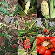 Rohdea japonica (Montage s2).jpg