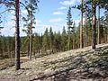 Rokua pine forest.JPG