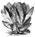 Romaine rouge d'hiver Vilmorin-Andrieux 1883.png