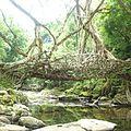Root bridge of Meghalaya.jpg