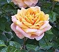 Rosa 'Mevrow G A van Rossen'.jpg
