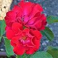 "Rosa ""Florian"" o MEIlaur. 01.jpg"