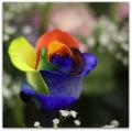 Rosa Arco Iris Frio.png