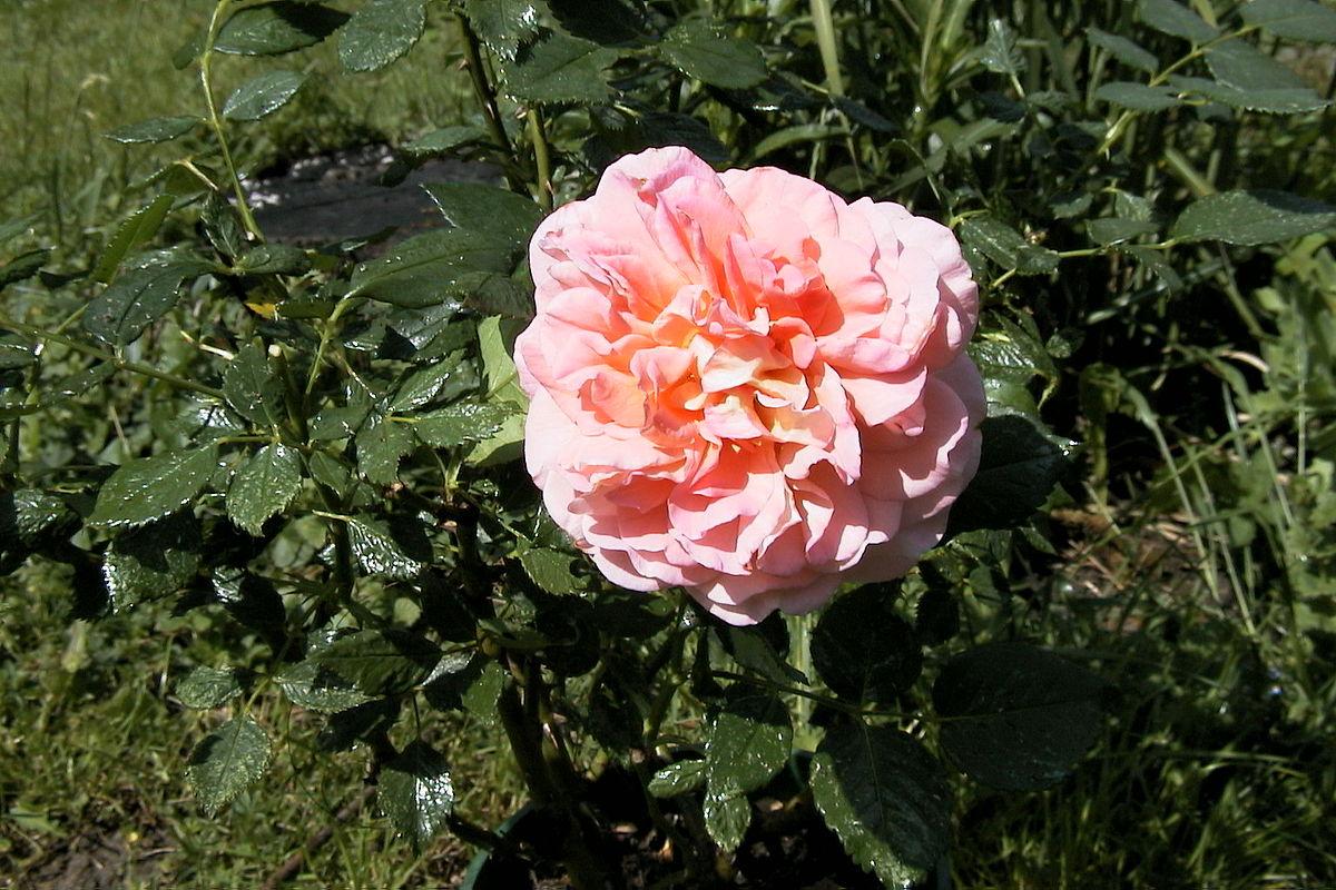 augusta luise rose � wikip233dia