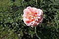 Rosa Augusta Luise.jpg