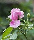 Rosa chinensis 04-08-2012 01.jpg