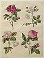 Rosa gallica (Gottorfer Codex, bind 2, planche 24).jpg