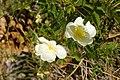 Rosa majalis inflorescence (01).jpg