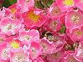 Rosa sp.185.jpg
