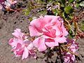 Rosa wichurana 'Wildfang'.jpg
