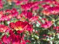 Rose, Cocktail, バラ, カクテル, (18199418495).jpg