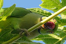 Photo of a green parrot among leaves