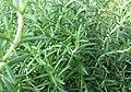 Rosmarinus officinalis prostratus 0zz.jpg