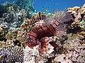 Rotfeuerfisch im Roten Meer..DSCF1369WI.jpg