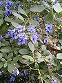 Rotheca myricoides HabitusFlowers BotGard0906b.JPG