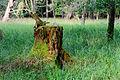 Rotten stump covered with moss - verfallener Baumstumpf mit Moos - 02.jpg