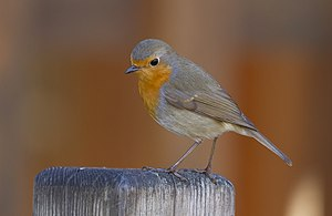 European robin - Adult in Toulouse, France.