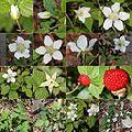 Rubus hirsutus (Montage).jpg