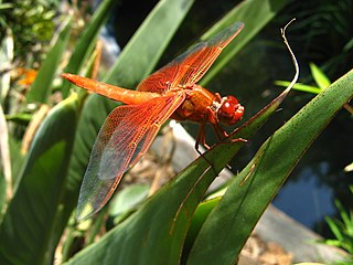 Flame skimmer species of insect