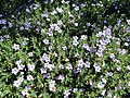 Ruellia humilis (Wild Petunia) (28191294063).jpg