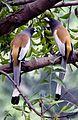 Rufous Treepie - Tamilnadu.jpg