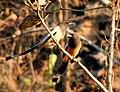 Rufous Treepie Dendrocitta vagabunda.jpg