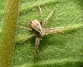 Running Crab Spider (31326591745).jpg
