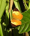 Rustic Cupha erymanthis by Dr. Raju Kasambe DSCN5528 (4).jpg