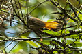Rusty-flanked Fantail - Sulawesi MG 5062 (19243530249).jpg